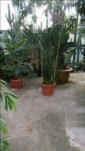Strelizie, Hintergrund FicusLangifolia